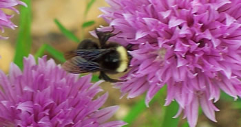 Bee in chives