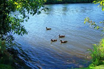 Cedar River Ducks