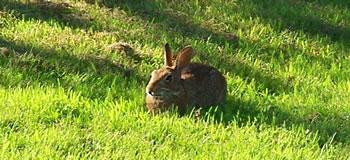 Renton Rabbit