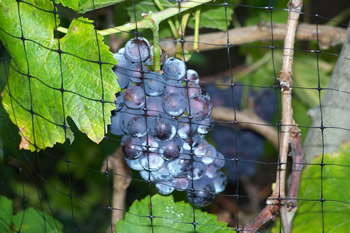 More grapes
