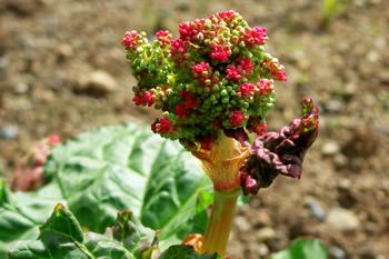 Rhubarb Seed Stalks
