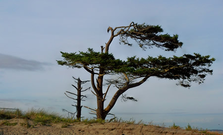 Port Townsend Tree